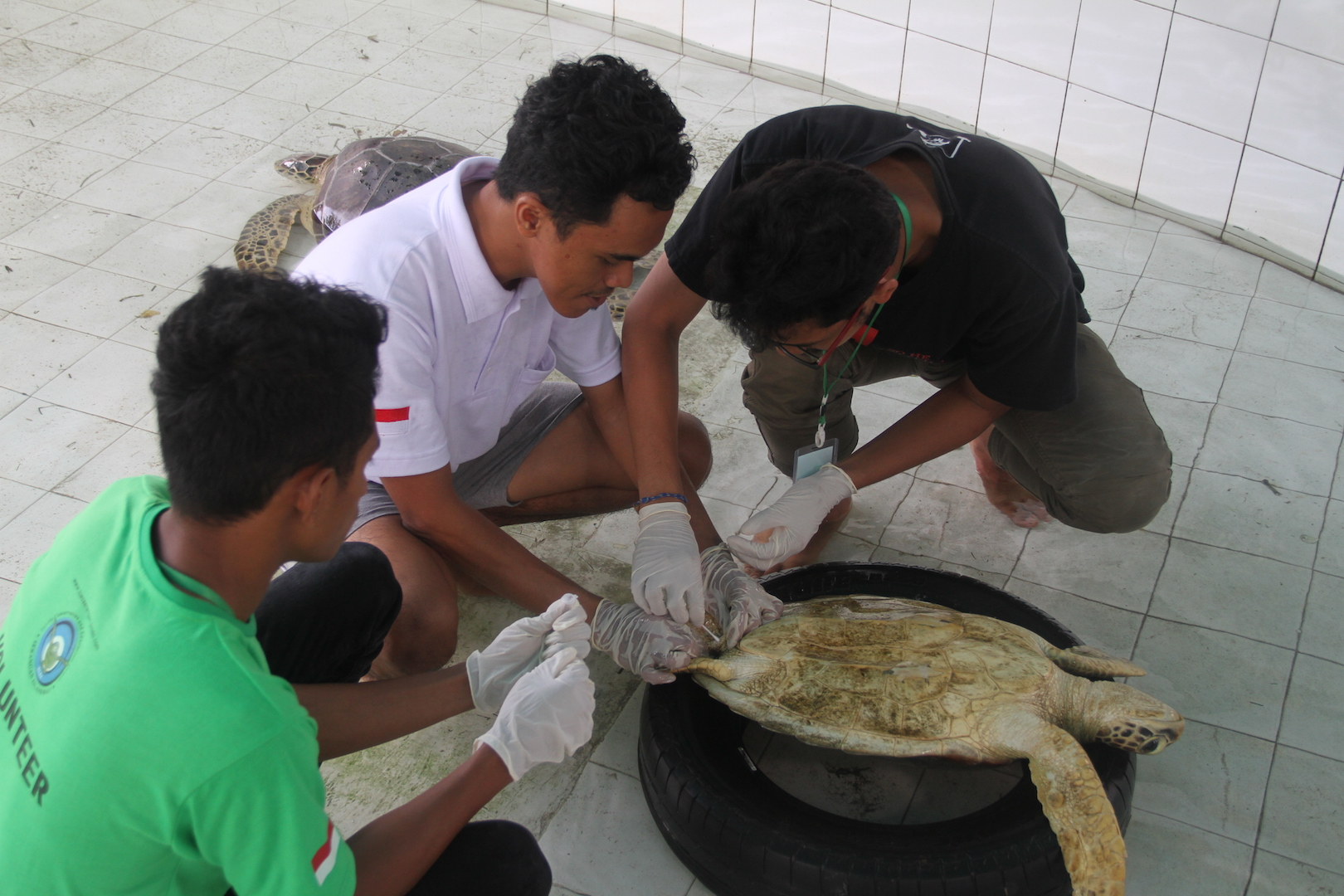 The participants is collecting genetic sample from the sea turtle's cloaca
